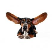 Уход за ушами собаки (5)