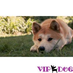Пневмония у собак: как лечить?