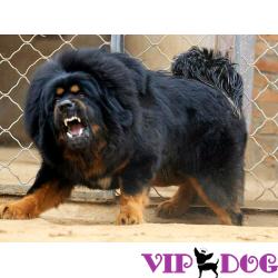 Самые дорогие породы собак на планете