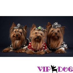 Виды декоративных собак