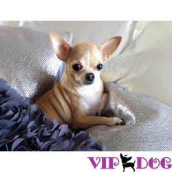 Чихуахуа или самая миниатюрная порода среди всех известных пород собак в мире.