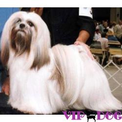 «Маленький Будда» - собака породы лхасо апсо.