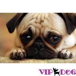 Депрессия у собаки - чем можно помочь своему питомцу